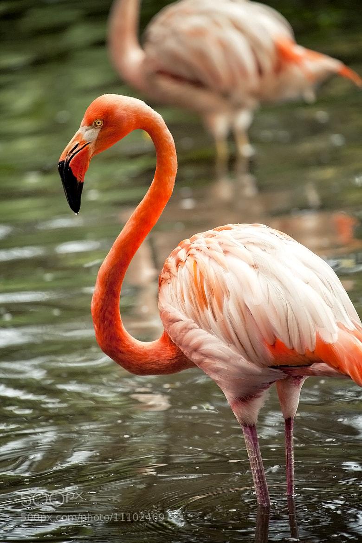 Photograph Flamingo by Harish  Kumar on 500px