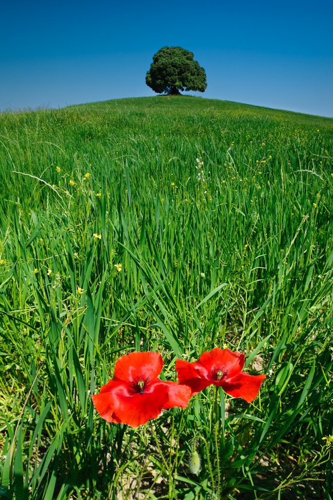 Photograph Poppies and Oak by Michael Blanchette on 500px