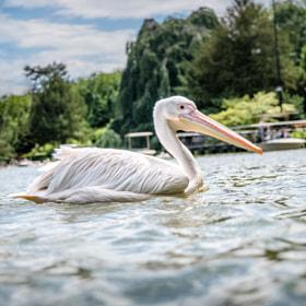Pelikan | Pelican