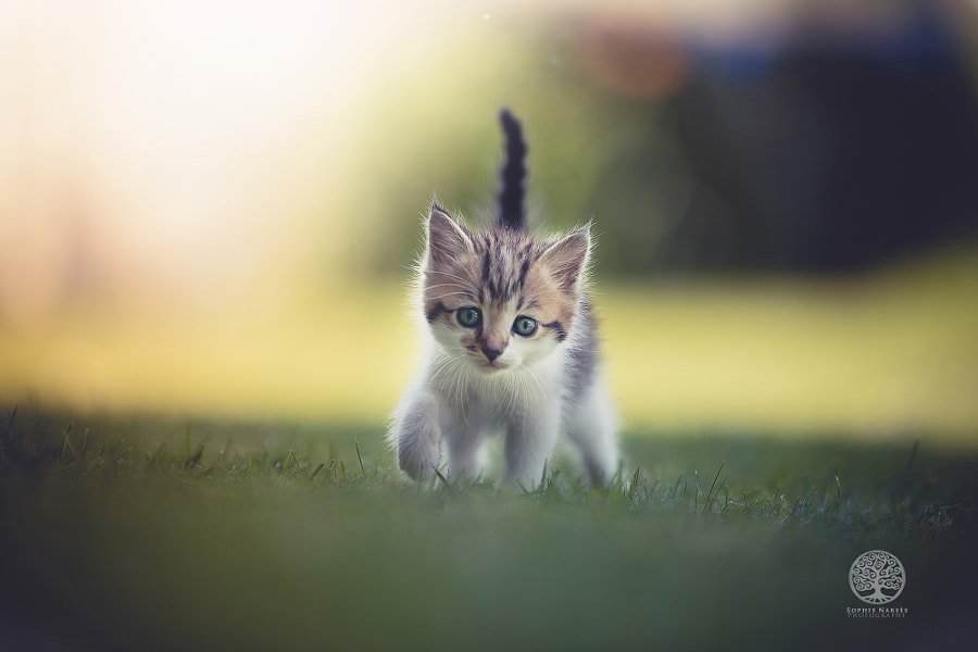 Kitten by Sophie Narses on 500px.com