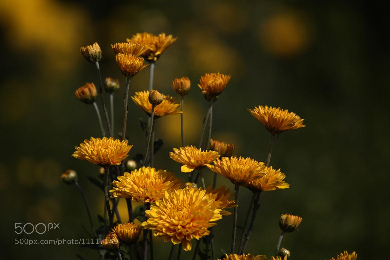 Photograph Yellow flowers and bokeh by Cristobal Garciaferro Rubio on 500px