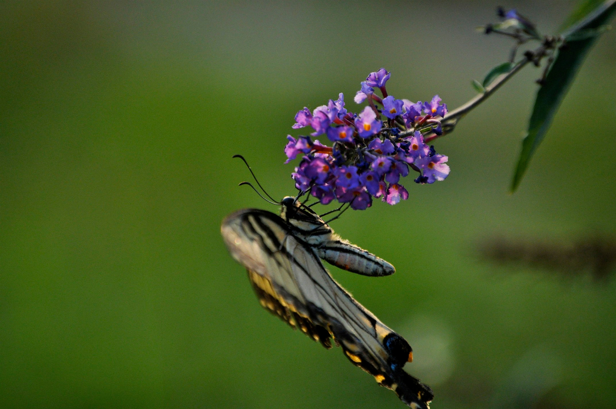 Photograph  Tiger Swallowtail (Papilio glaucus) by Cory Zanker on 500px