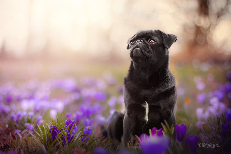 Flower Power Pug by Bildglanz on 500px.com