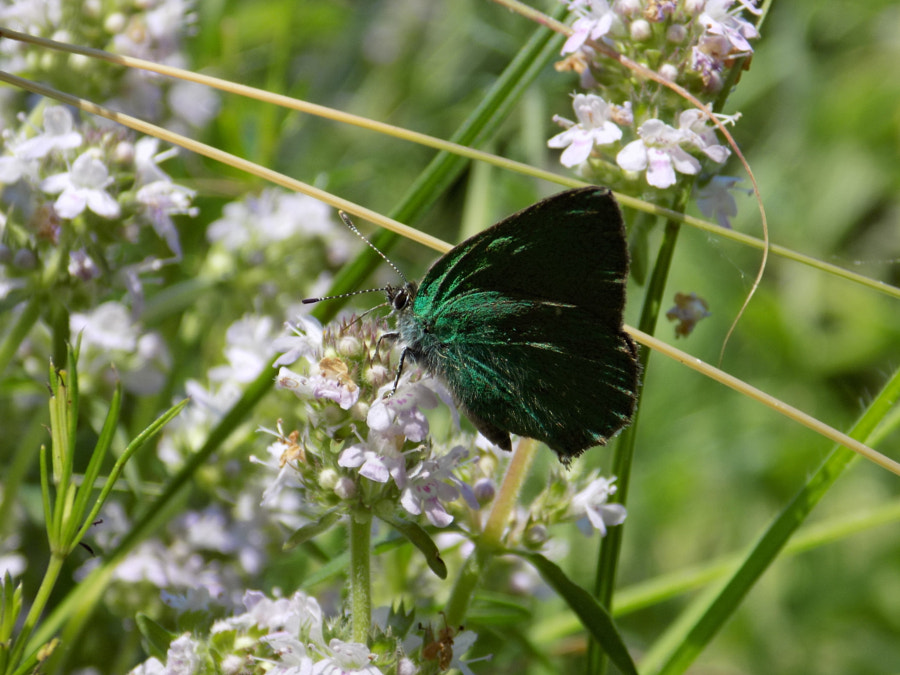 Photograph Emerald butterfly by Vasile Guta-Ciucur on 500px