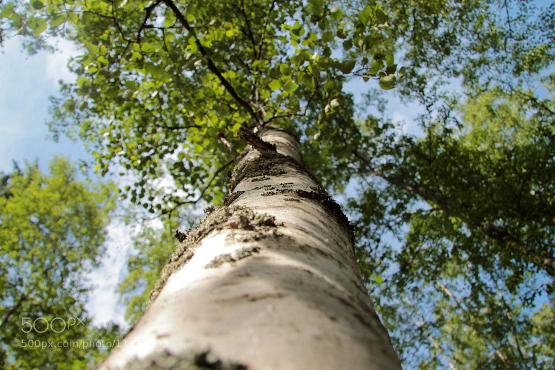 Photograph Birch from bottom by Niko Saarinen on 500px