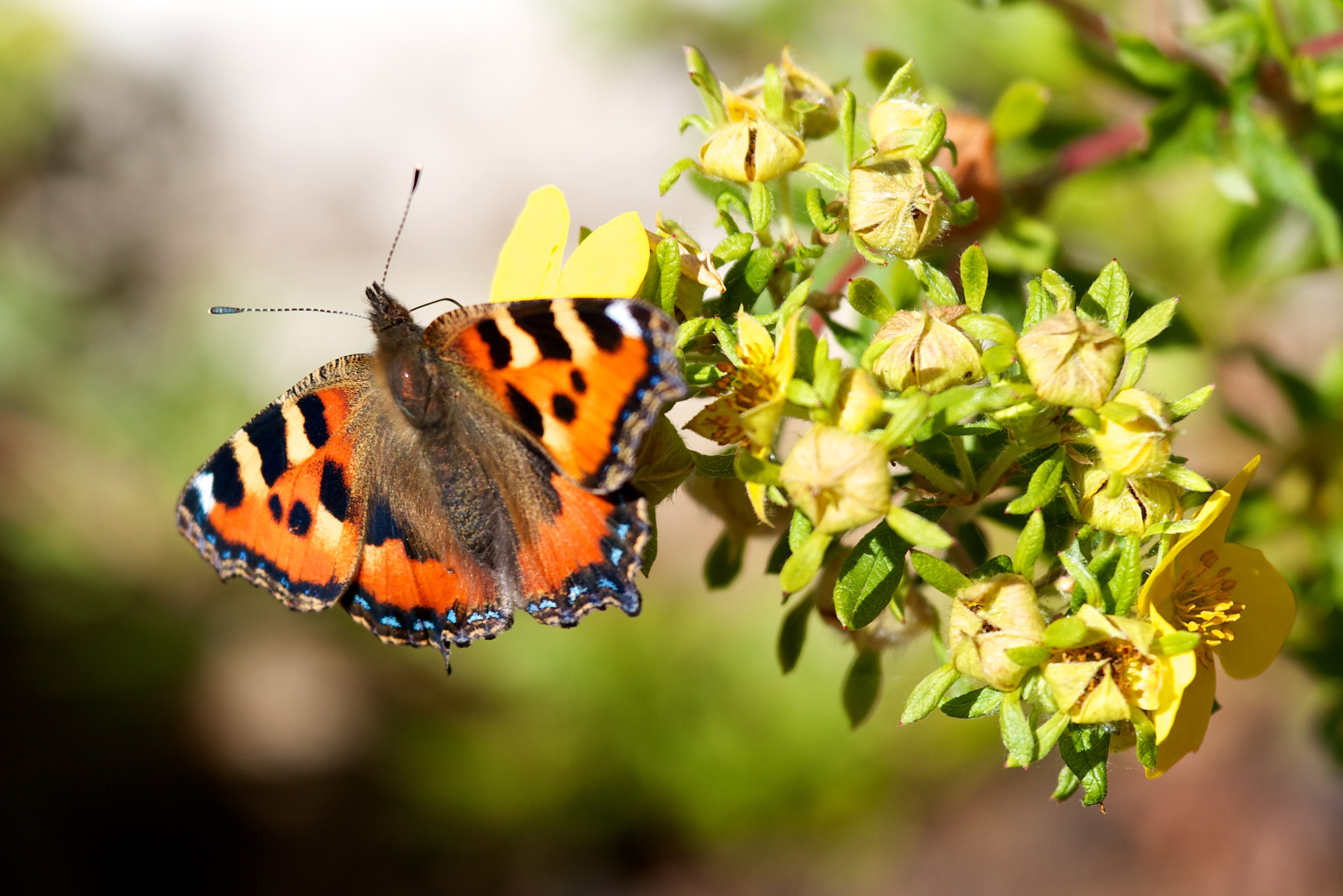 Photograph Tortoiseshell Butterfly by Morgan Kan on 500px