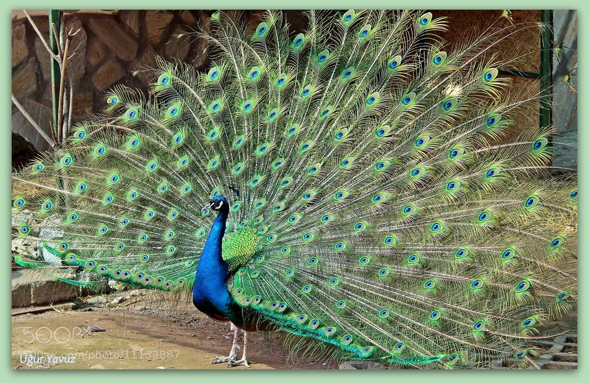 Photograph Peacock by Ugur Yavuz on 500px