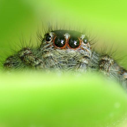 Philaeus chrysops ♀