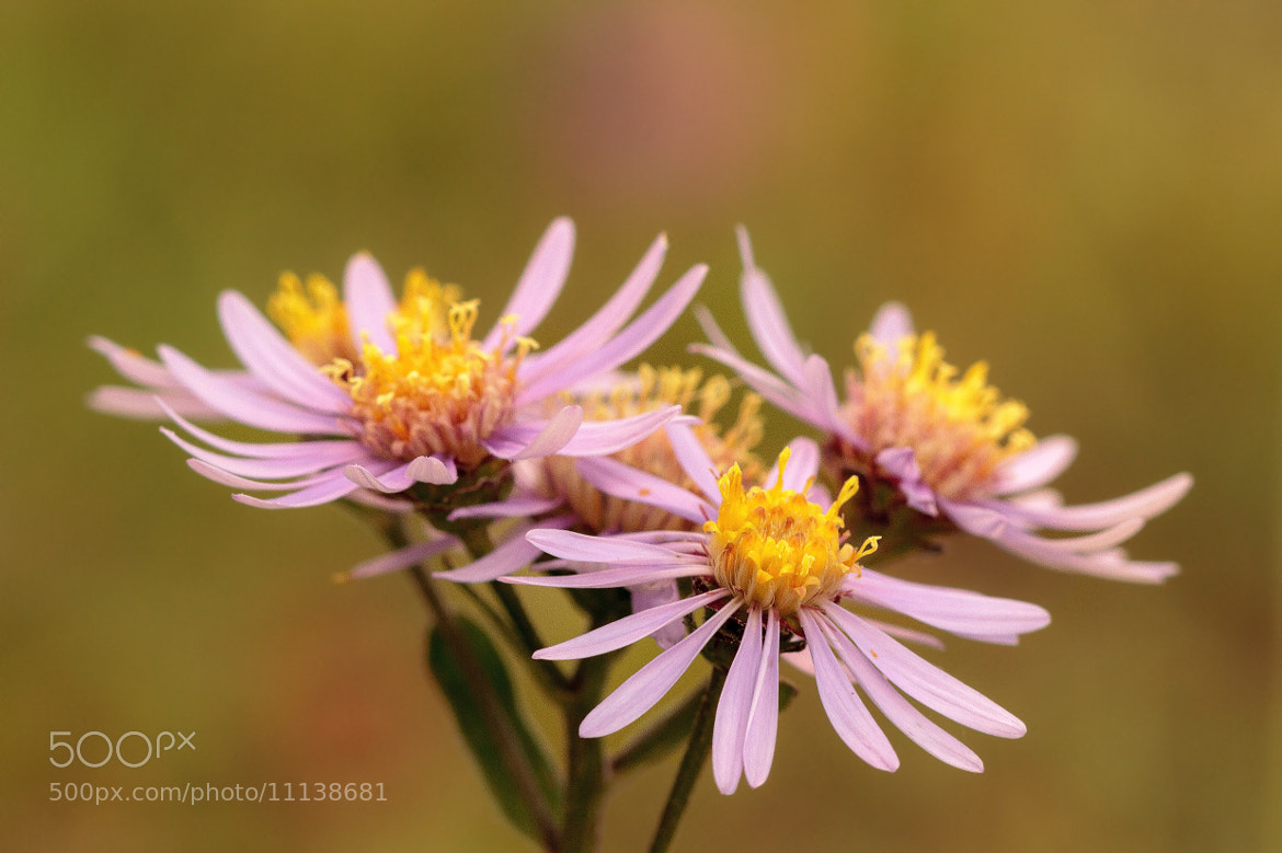 Photograph Aster amellus (European Michaelmas Daisy) by Andreas Zerndl on 500px