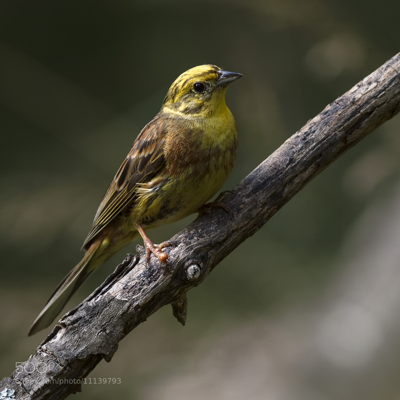 Photograph Yellowhammer by Carlos Urtasun on 500px