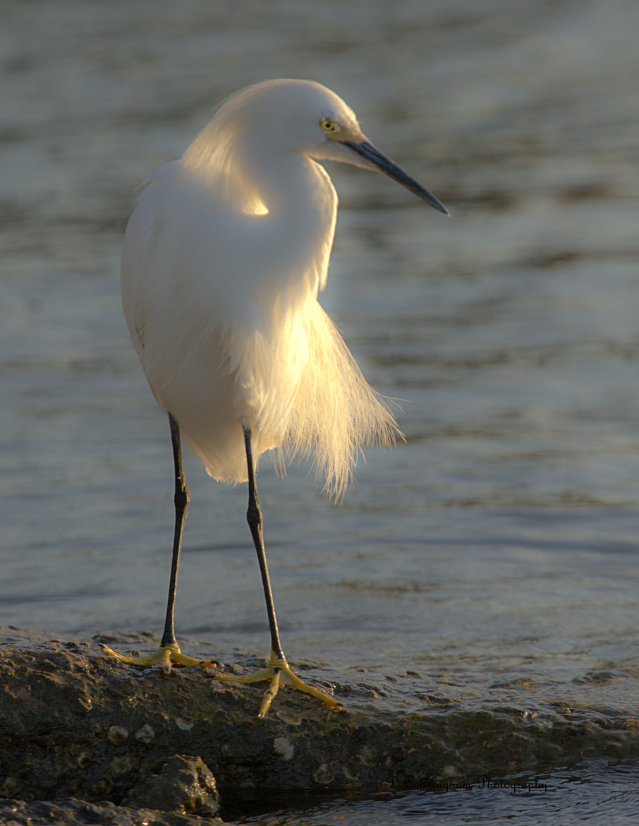 Photograph Sun On The Egret by Dorothy Cunningham on 500px