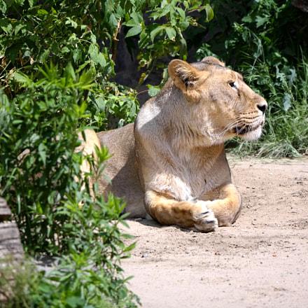 relaxing lion