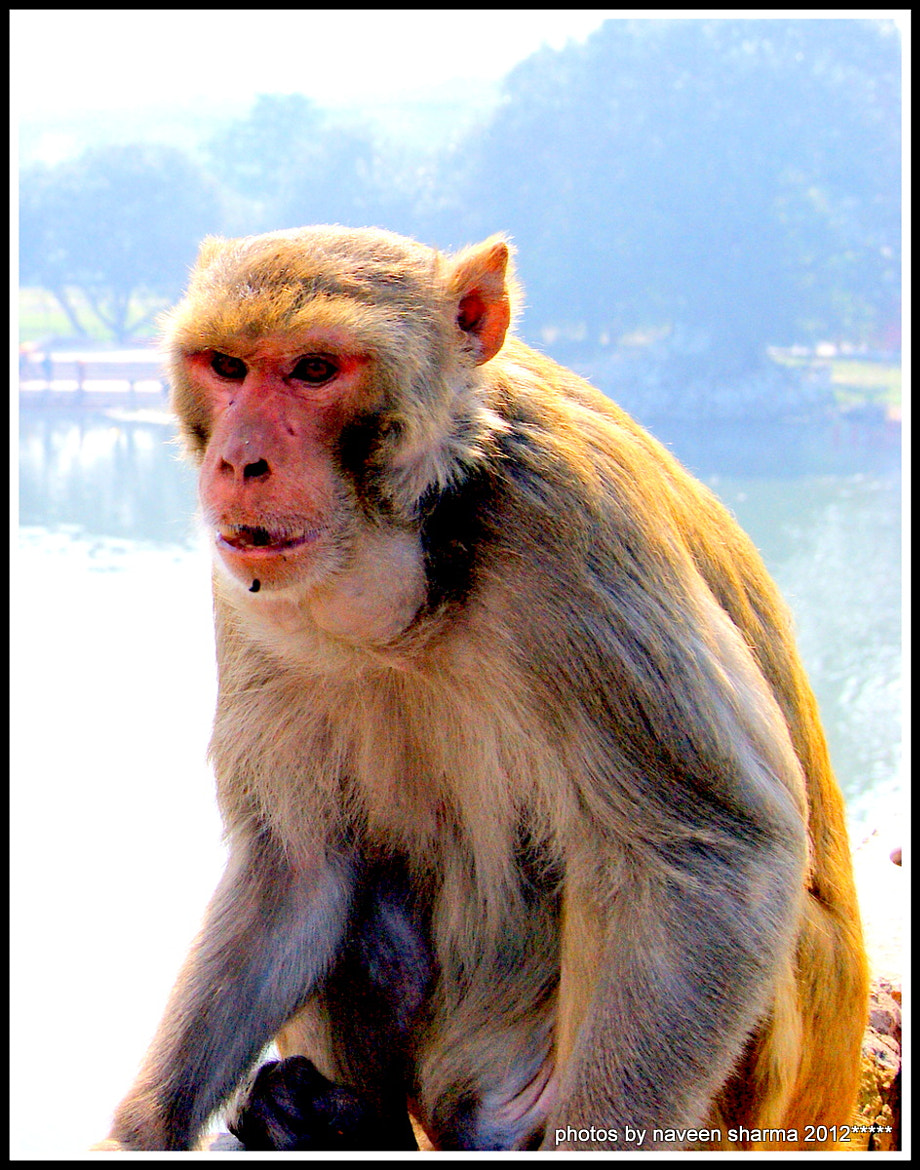 Photograph INDIAN MONKEY IN AGRESSIVE MOOD by naveen sharma on 500px