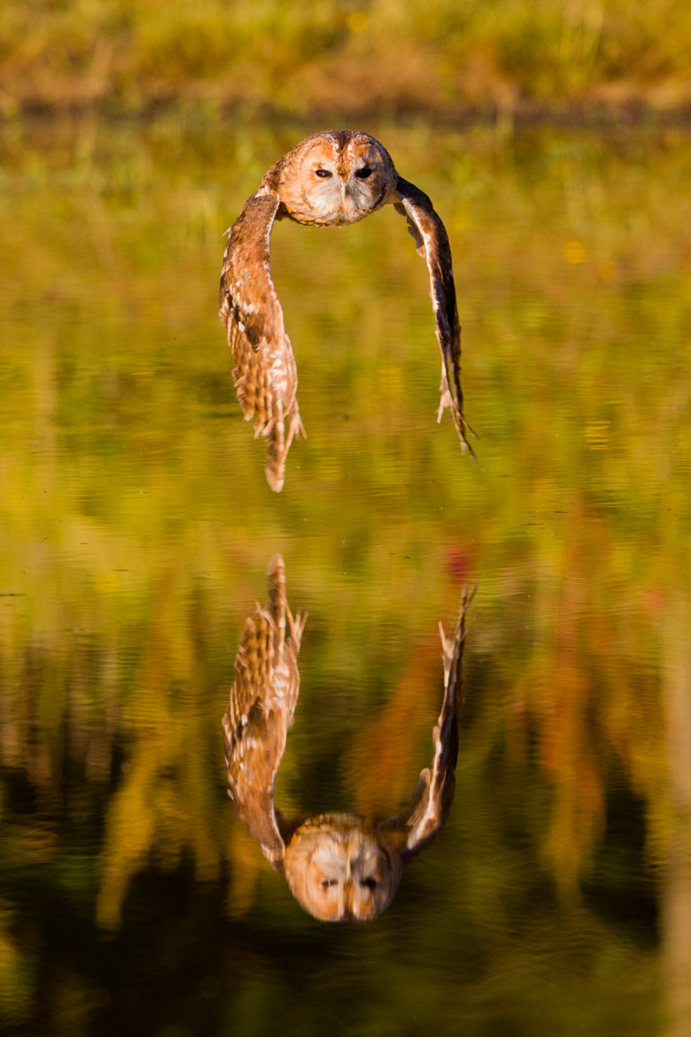 Photograph Tawny over water by Andrew Bertram on 500px