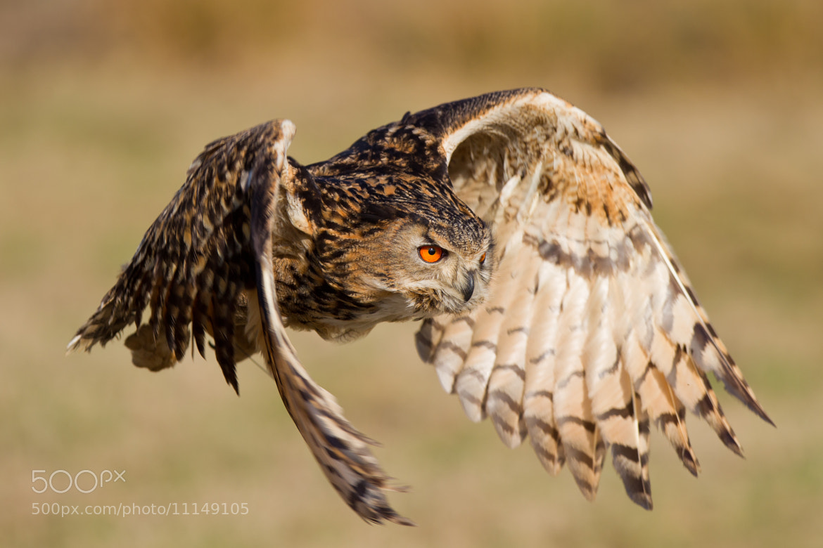 Photograph Eurasian Eagle-Owl in flight (Bubo bubo) by Andrew Bertram on 500px