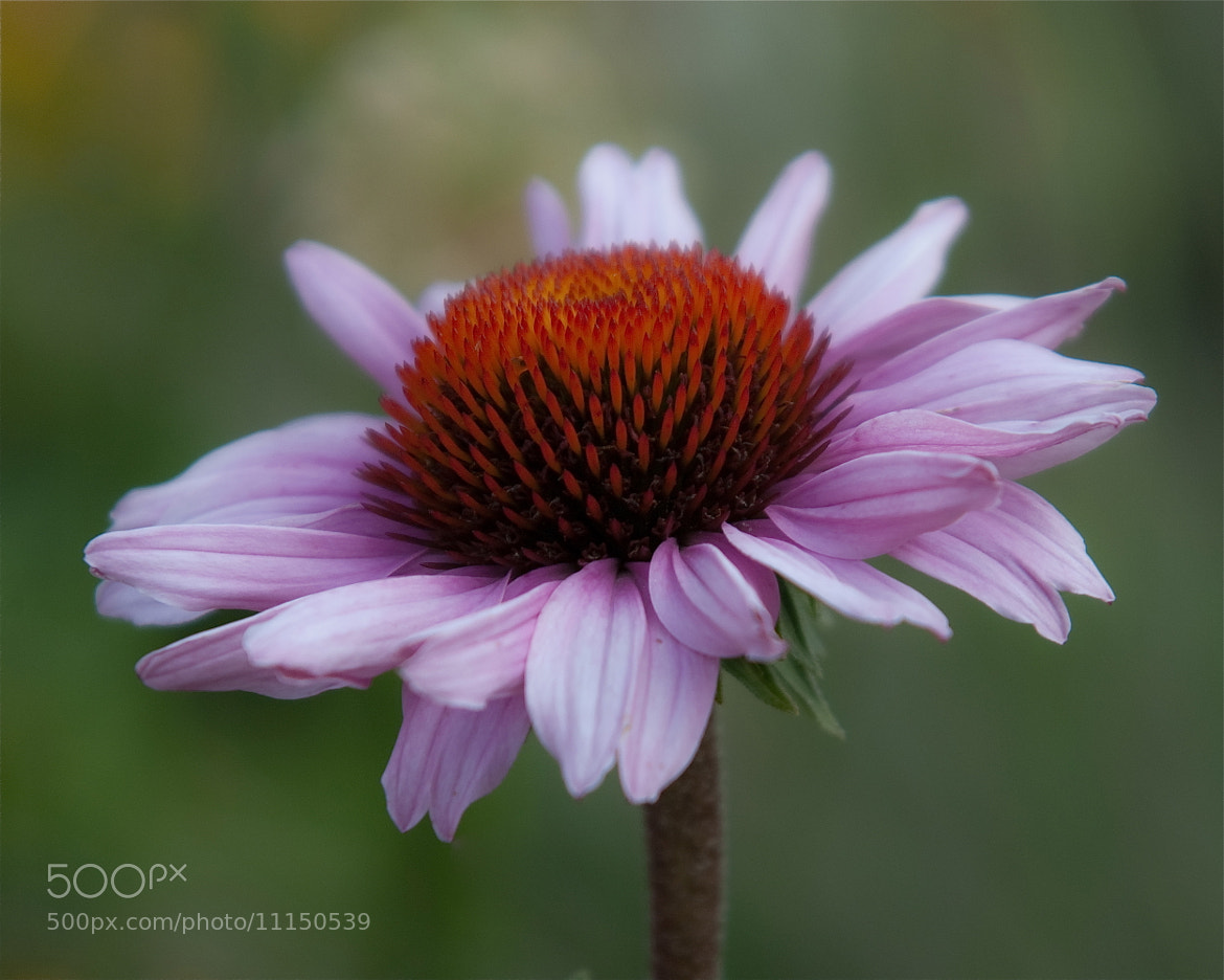 Photograph Purple coneflower by Ann taking photos on 500px