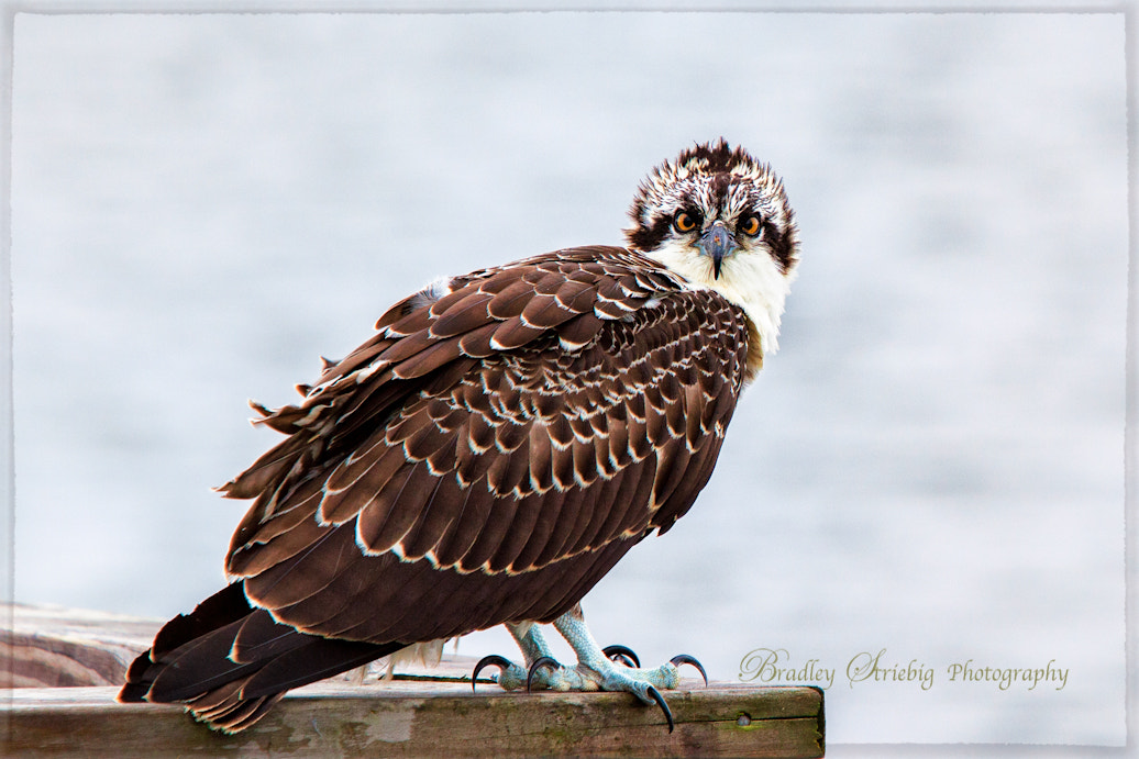 Photograph Osprey by Brad Striebig on 500px