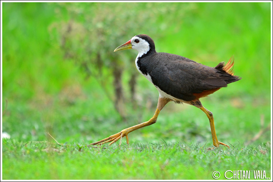 Photograph White Breasted Waterhen Walk by chetan vala on 500px