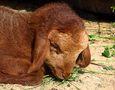 Ginger lamb close-up.