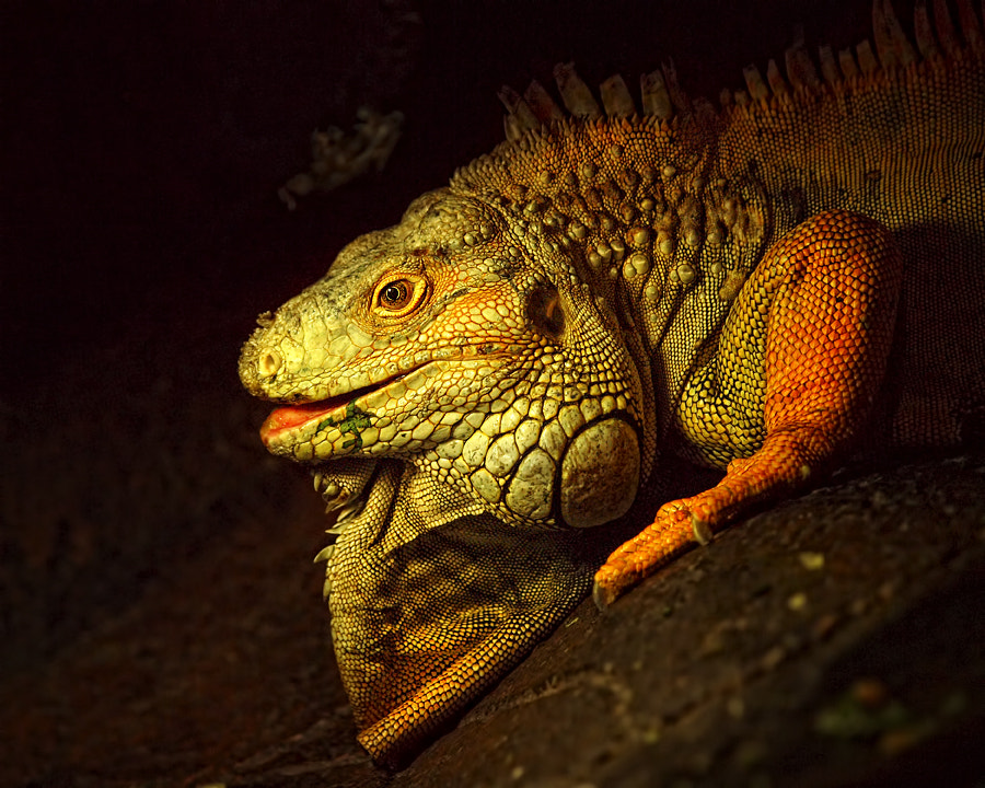 Photograph Iguana by Anton Rahmadi on 500px