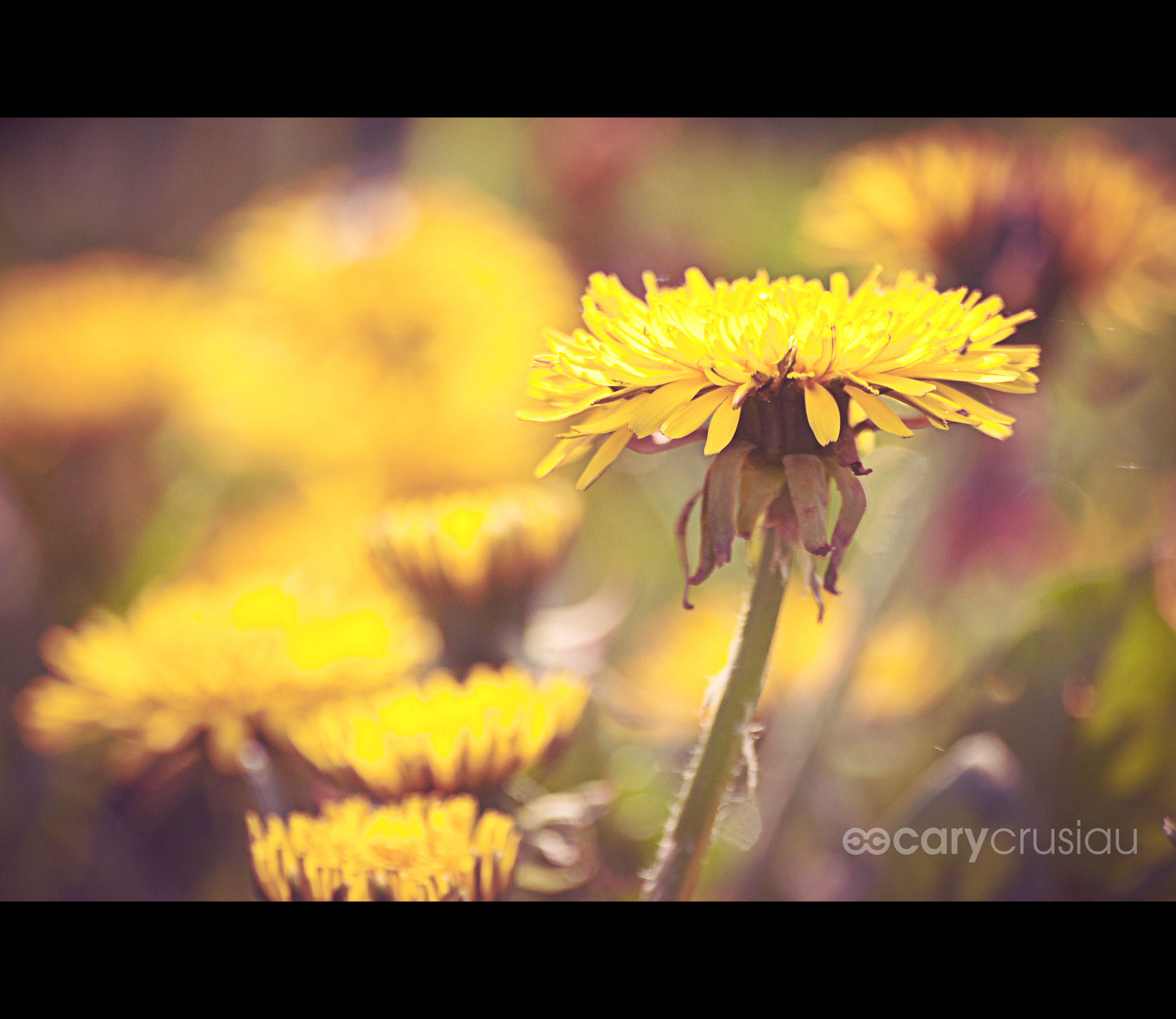 Photograph Dandelions by Cary Crusiau on 500px