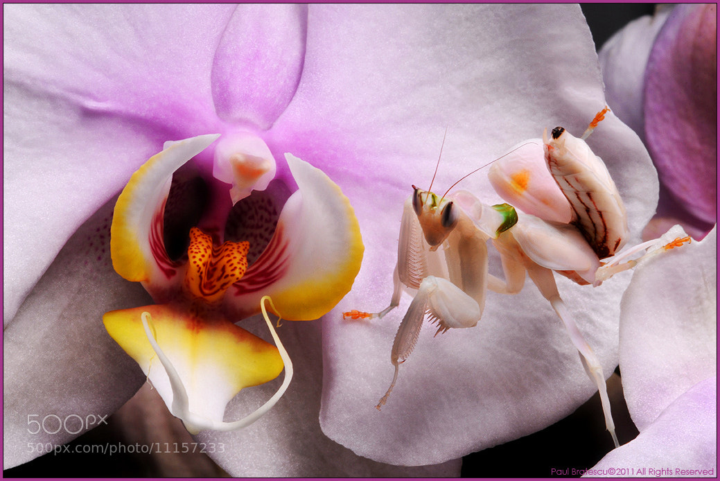 Photograph Orchid Mantid by Paul Bratescu on 500px