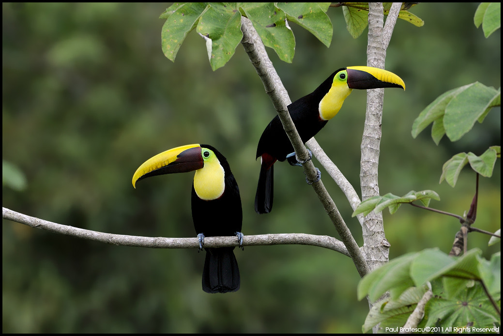 Photograph Chestnut-mandible Toucans by Paul Bratescu on 500px