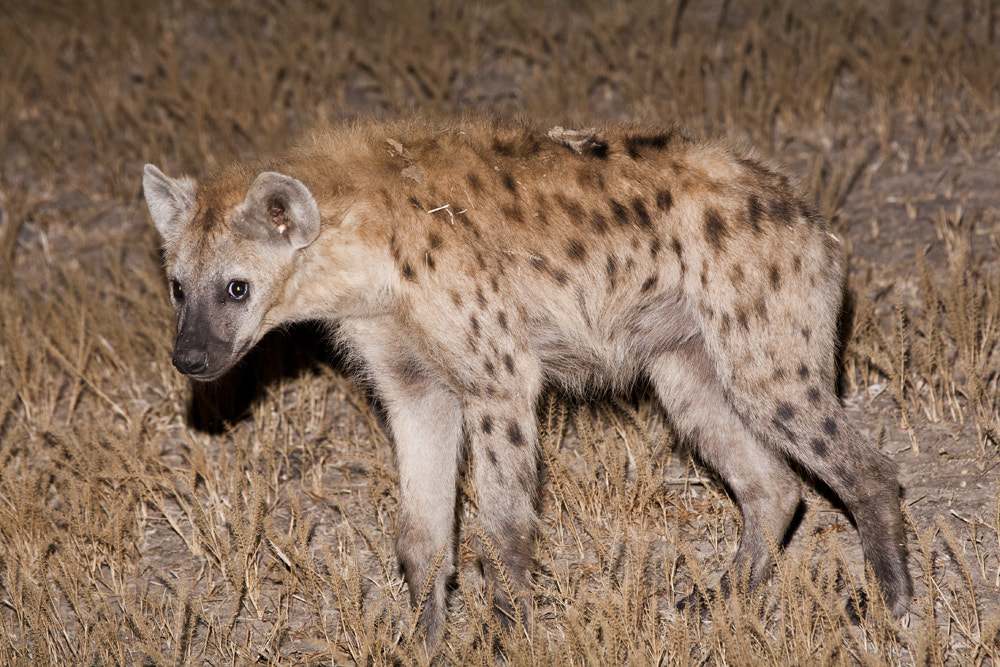 Photograph Cheeky Hyena - Zambia by Marcus Visic on 500px