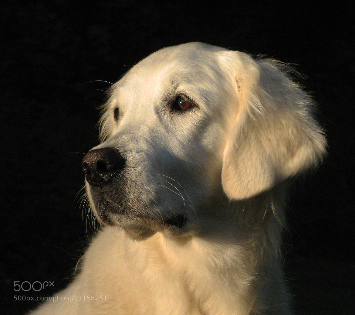 Photograph My Golden Retriever Ditte by Ingrid Brandt on 500px