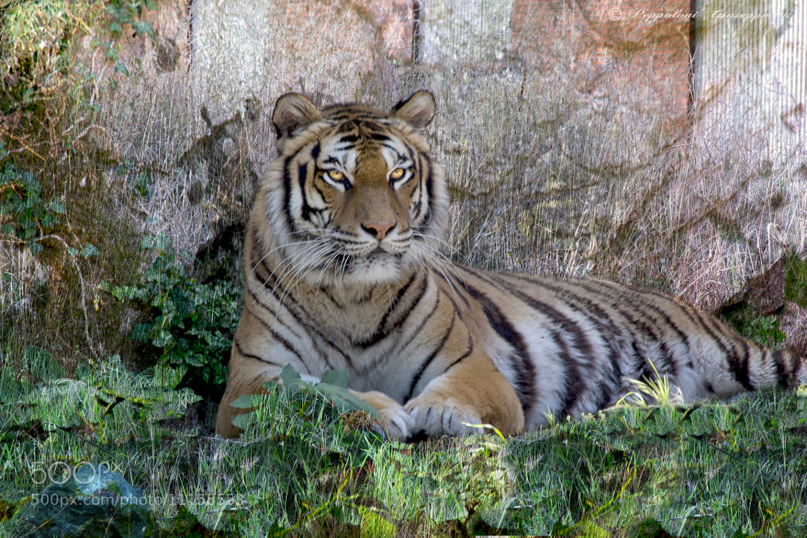 Photograph The tiger by Giuseppe  Peppoloni on 500px