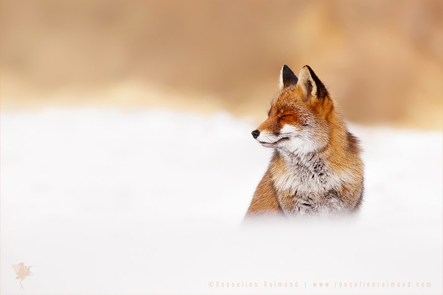 Fox in the Clouds by Roeselien Raimond on 500px.com