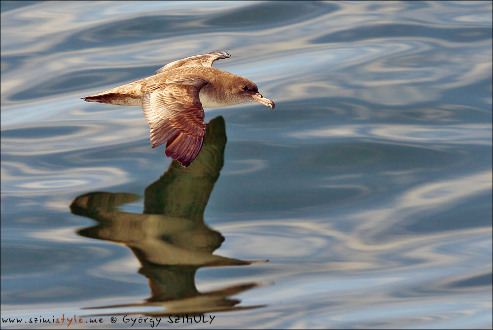 Photograph Pink-footed Shearwater (Puffinus creatopus) by Gyorgy Szimuly on 500px