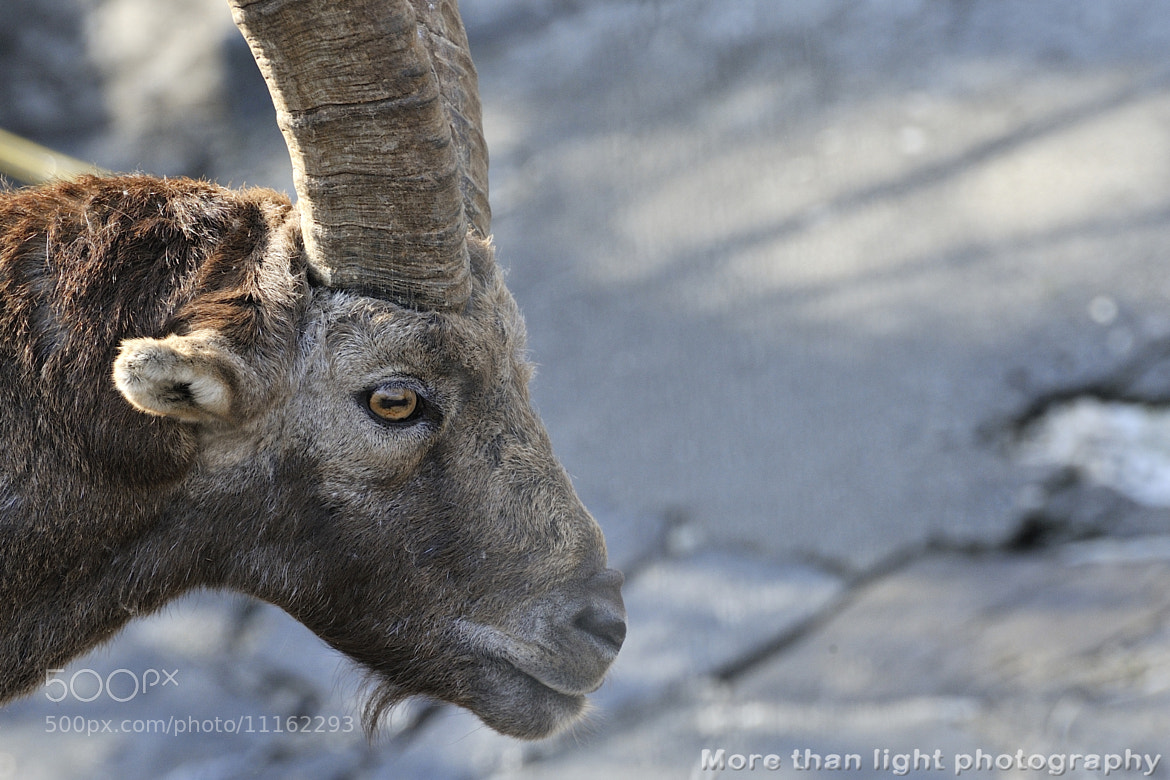 Photograph Alpine ibex by Christof Walker on 500px