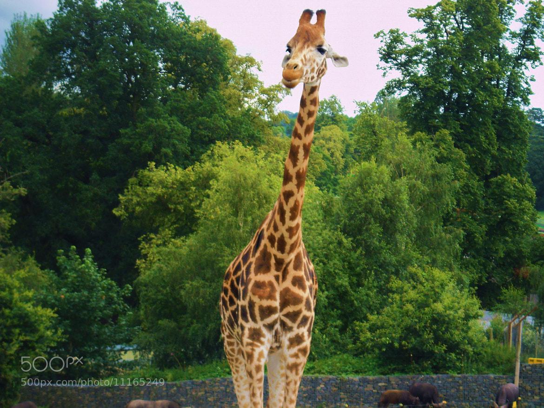 Photograph Giraffe 1 by Laura Scott on 500px