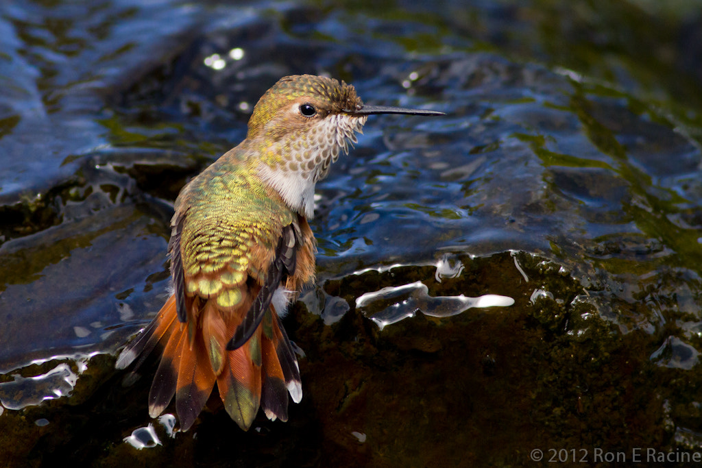Photograph Thirsty Hummingbird by Ron E Racine on 500px