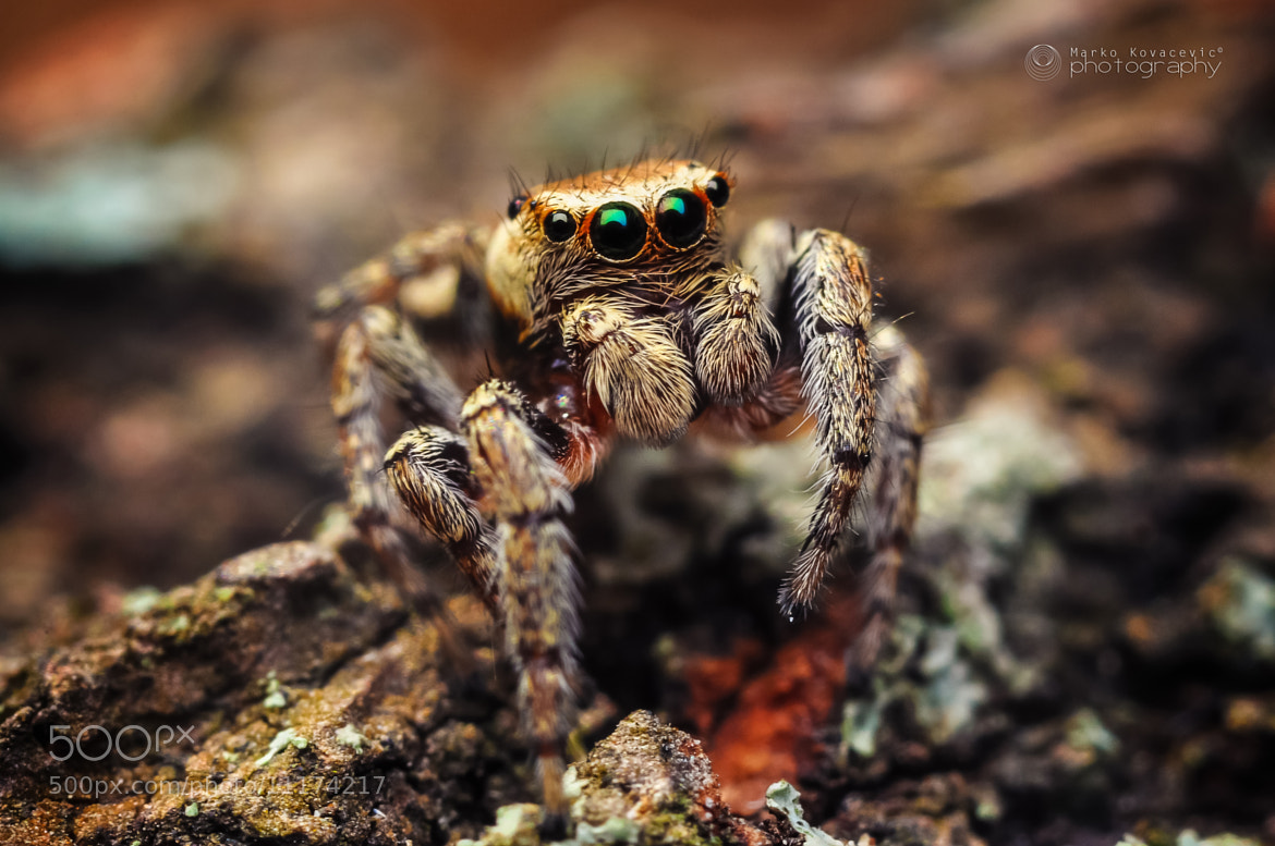 Photograph Jumping spider by Marko Kovacevic on 500px