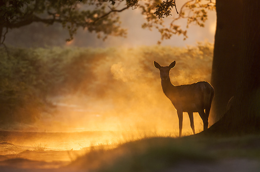Photograph Red Deer in the mist by Oscar Dewhurst on 500px