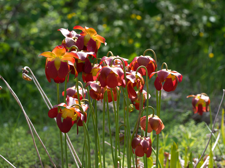 Photograph Sarracenia purpurea by John Poltrack on 500px