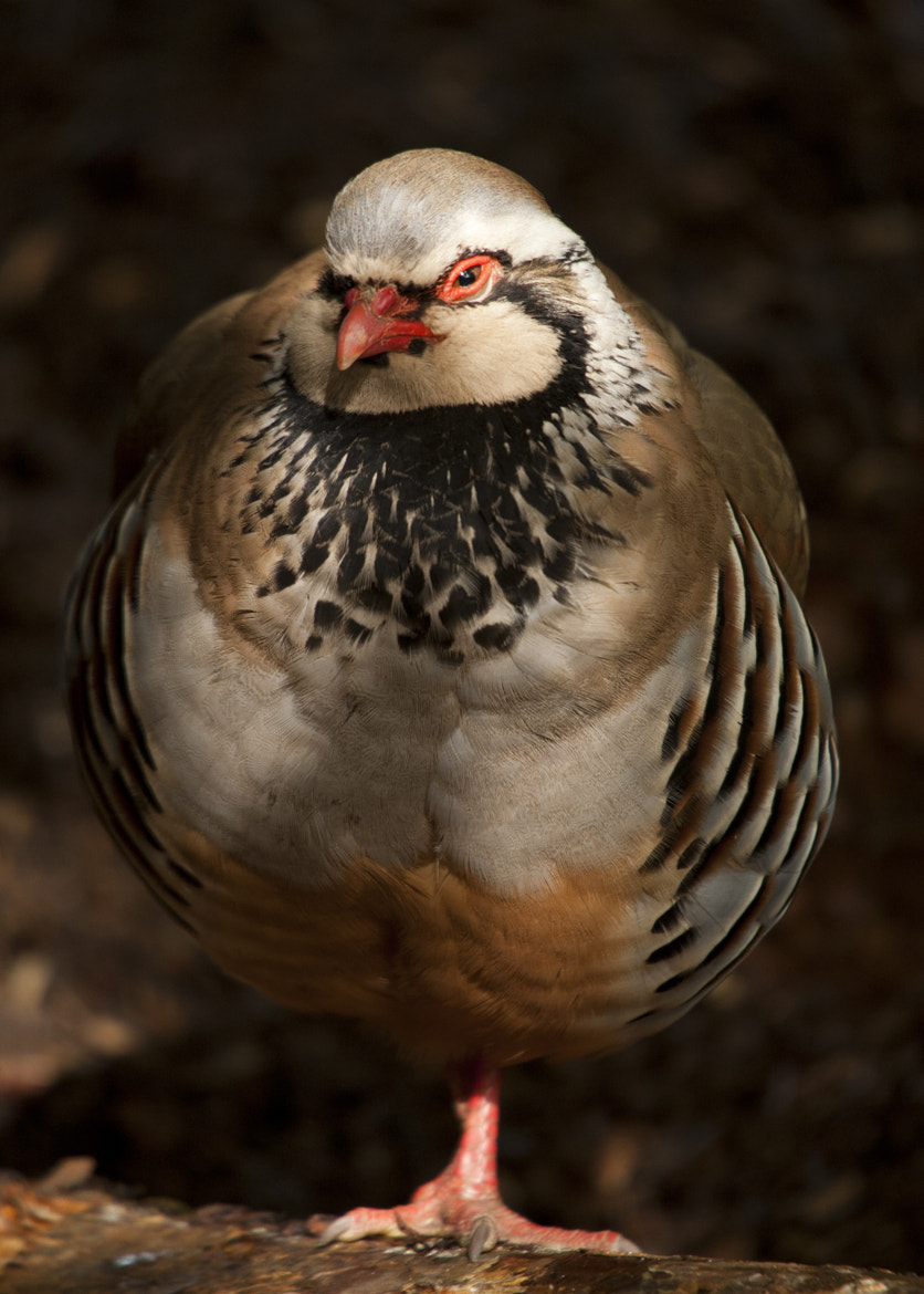 Photograph Dappled Partridge by Paul Mitchell on 500px