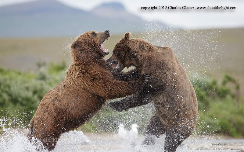 Photograph Brown bears fighting, AK by Charles Glatzer on 500px