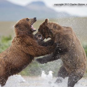 Brown bears fighting, AK by Charles Glatzer (Chas)) on 500px.com