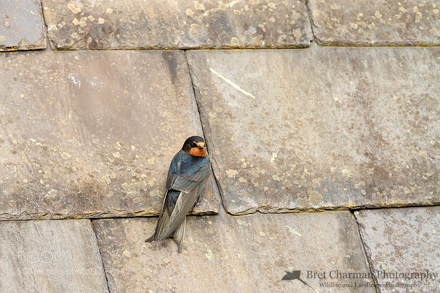 Photograph Barn Swallow by Bret Charman on 500px