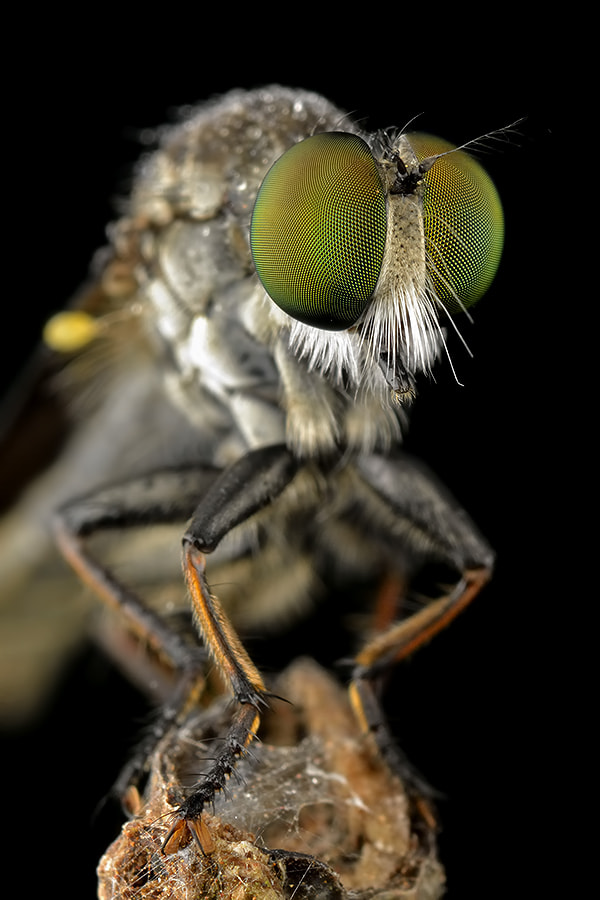 Photograph Robberfly Portraite by Donald Jusa on 500px