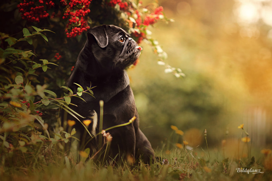 Pugs love colors by Bildglanz on 500px.com