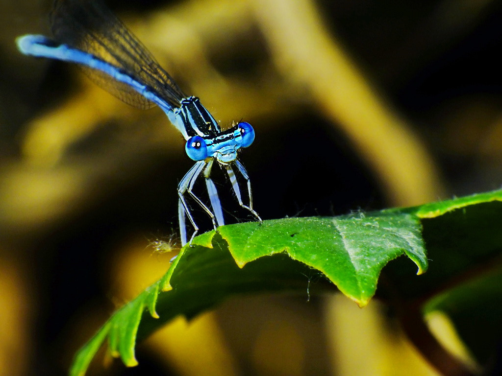 Photograph Blue Dragonfly by MURAT FINDIK on 500px