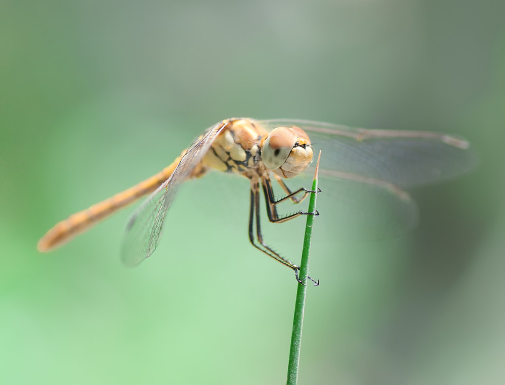 Photograph Dragonfly by Soheil Shahbazi on 500px