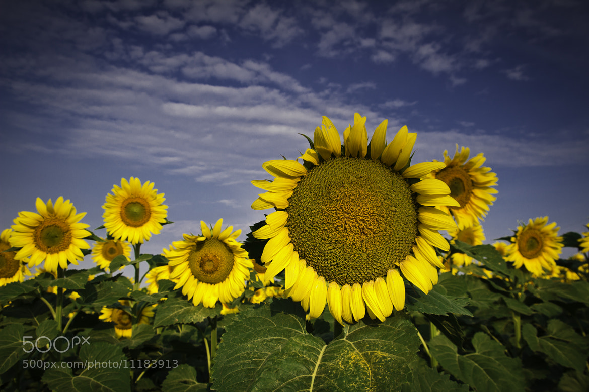 Photograph Sunflower Study I by Nate Welk on 500px