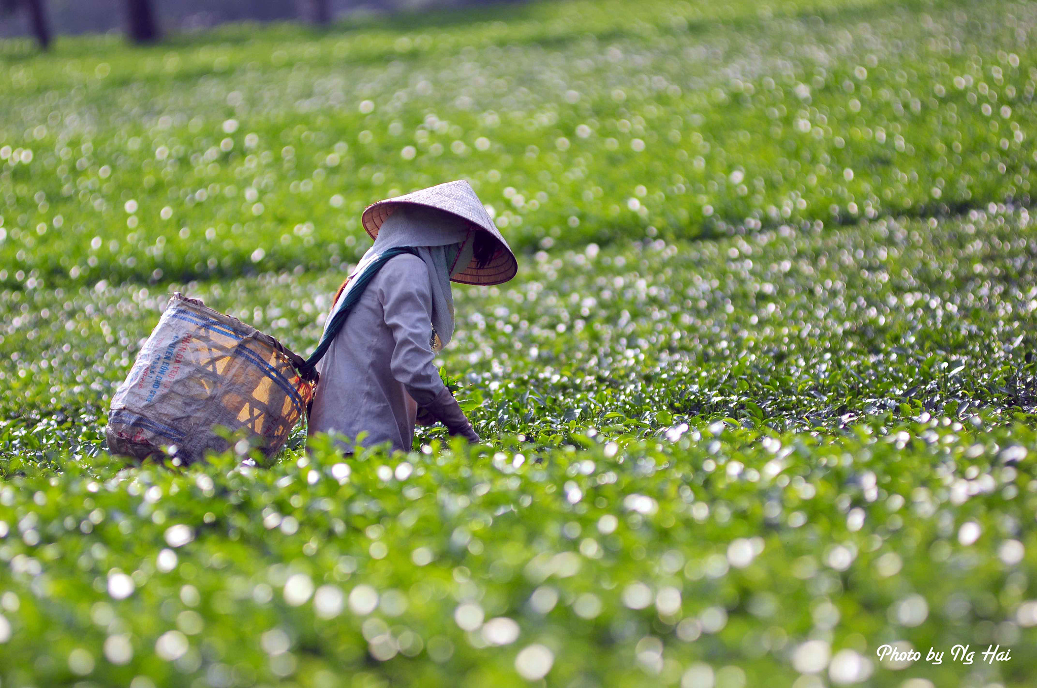 Photograph Tea Leaf Picker by Hai Nguyen Manh on 500px