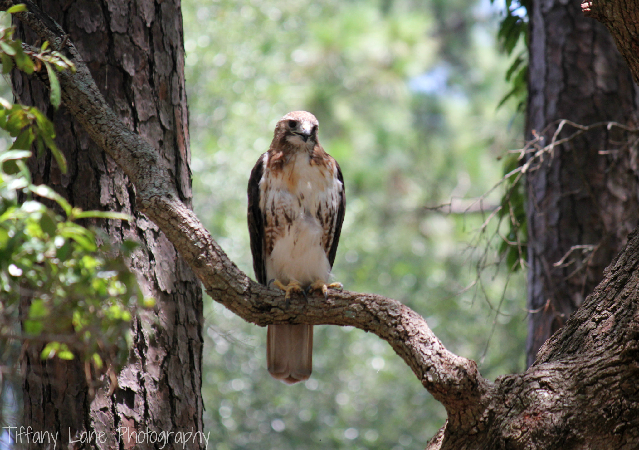 Photograph Red Tail Hawk 3 by Tiffany Lane on 500px