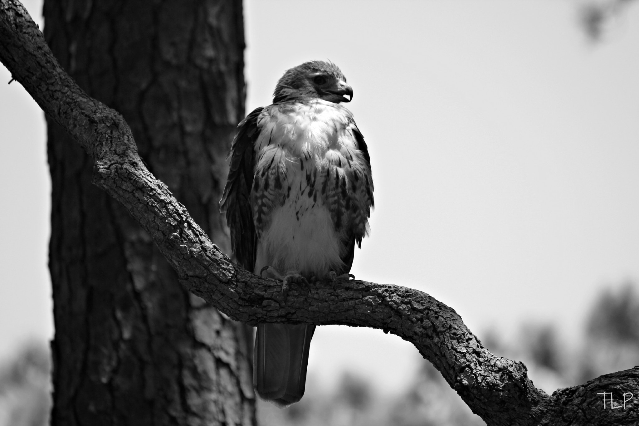 Photograph Red Tail Hawk by Tiffany Lane on 500px